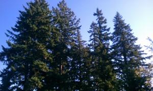 Finnfemme: Autumn Evergreen trees