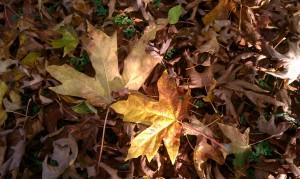 Finnfemme: Autumn Maple Leaves